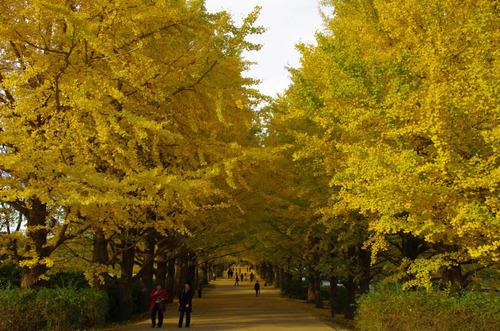 昭和記念公園イチョウ並木201211-1