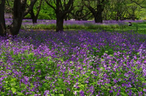 昭和記念公園20120428-6