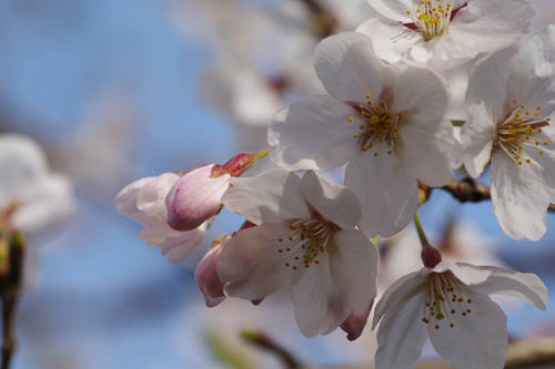 多摩川河川敷桜2010-2