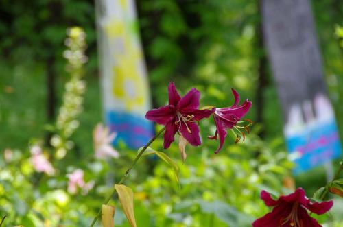 昭和記念公園のユリ2011-6アスカ