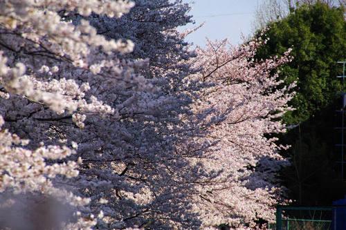 多摩川河川敷桜2010-7