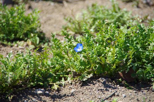 春の花201103-12