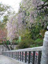 高尾山0420薬王院仁王門からのしだれ桜