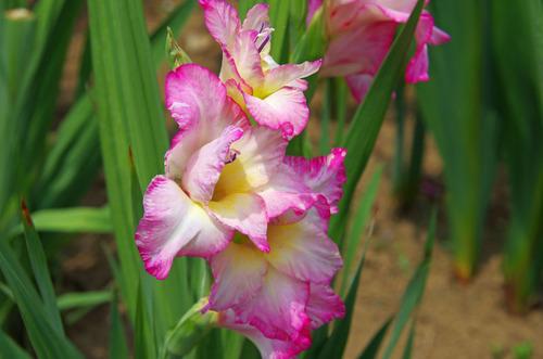 夏の花201107-3