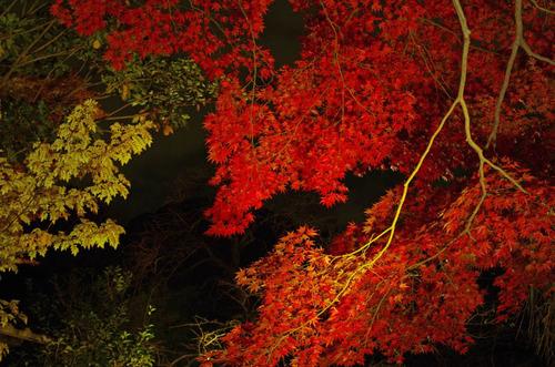 百草園紅葉ライトアップ201211-8