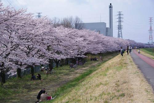 多摩川河川敷桜2010-1