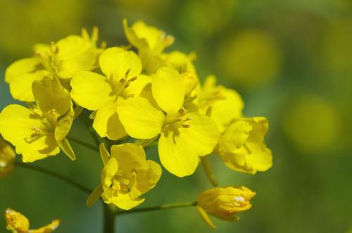 菜の花201103-2