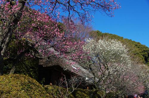 百草園梅まつり201102-11