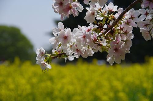 昭和記念公園菜の花と桜201104-10